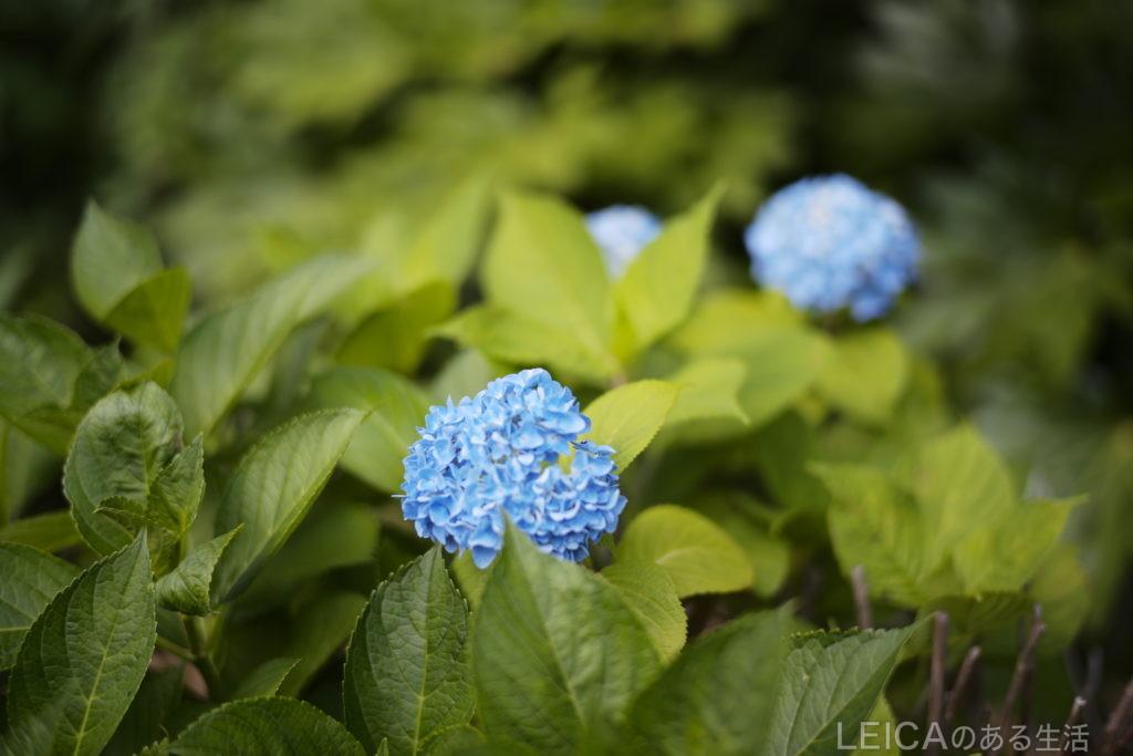 M10 紫陽花